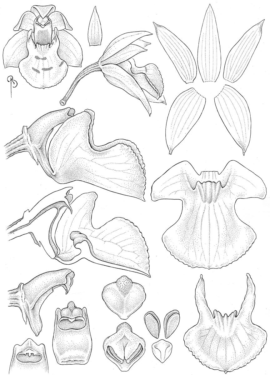 Koellensteinia lillijae