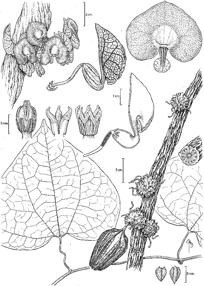 Aristolochia bukuti