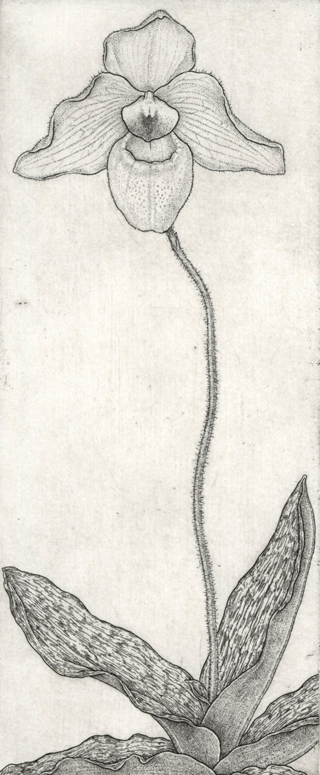 Paphiopedilum Lynleigh Koopowitz
