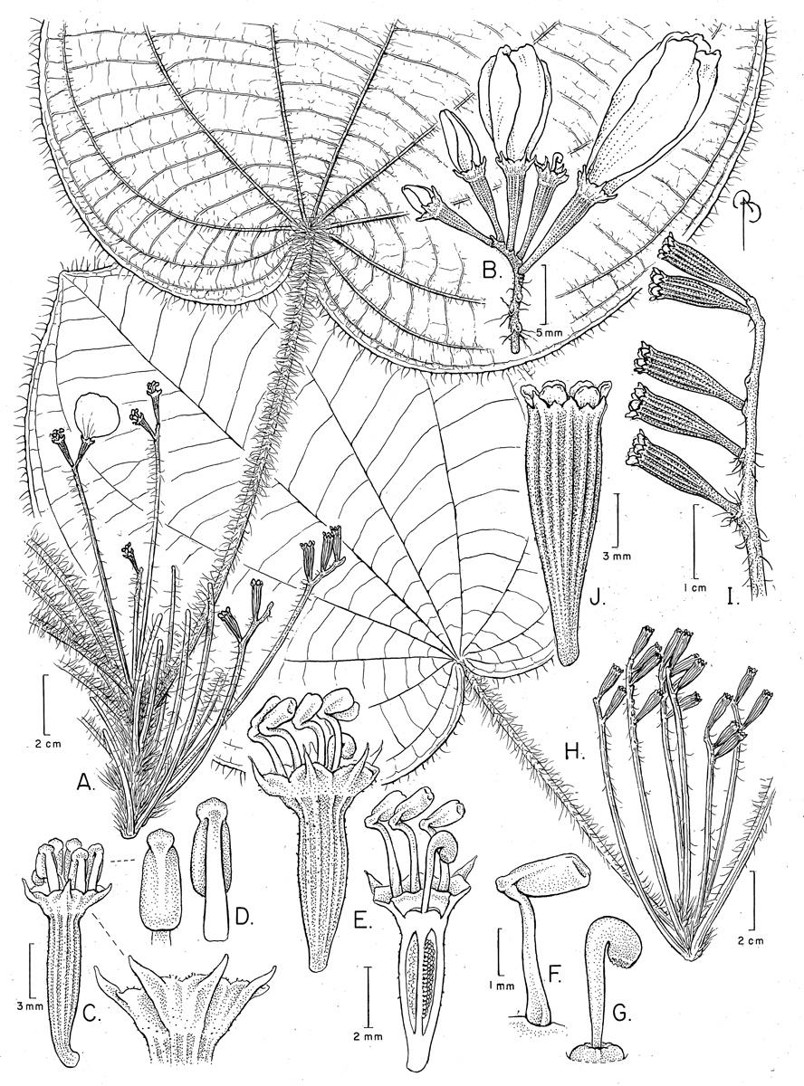 Quipuanthus epipetricus