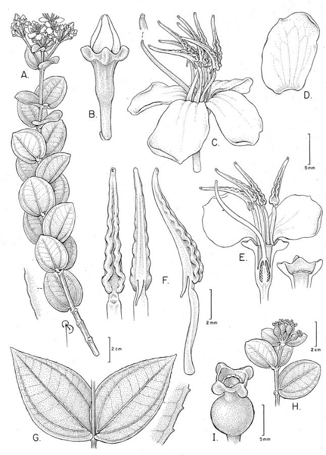 Huberia sessilifolia