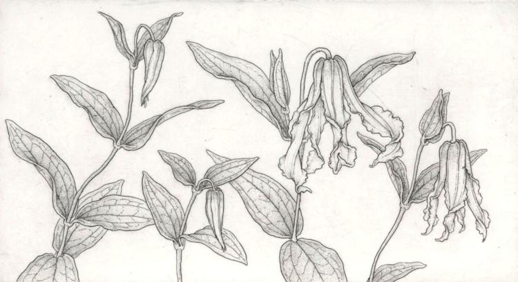 Clematis integrifolia
