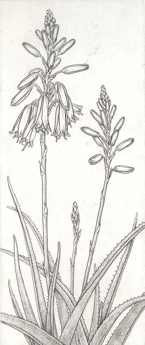 Aloe 'Grassy Lassie'