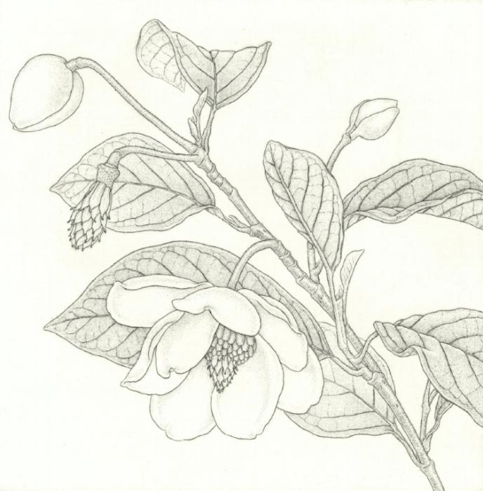 Magnola sieboldii