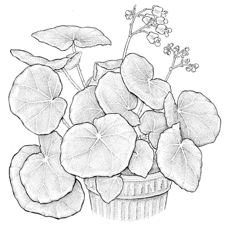 Beefsteak Begonia