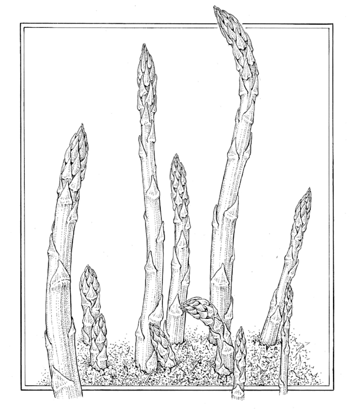 Asparagus. published in  Our Life in Gardens