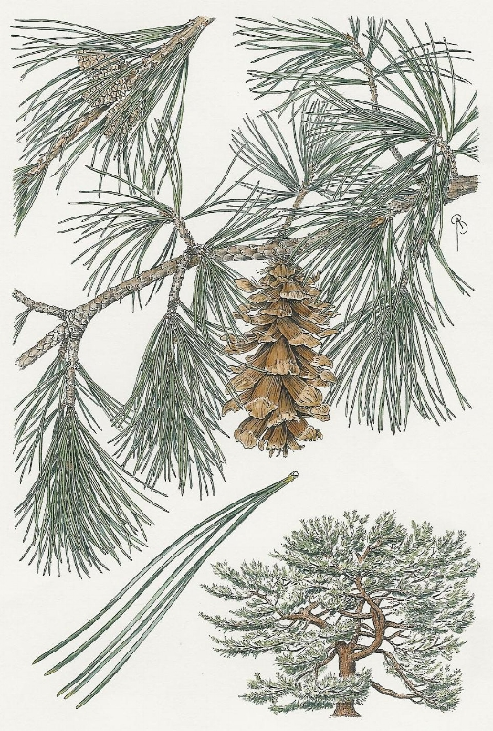 Pinus koraiensis.  Pen and ink with watercolor. Drawn for The Conifer Arboretum, NYBG.
