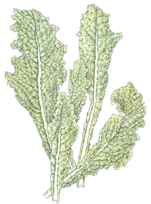 Tuscan kale. pen and ink with watercolor. Drawn for Horticulture magazine