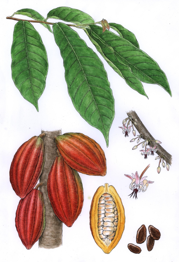 Chocolate.  Theobroma cacao.  Pen and ink with watercolor, commission for nut and seed company.