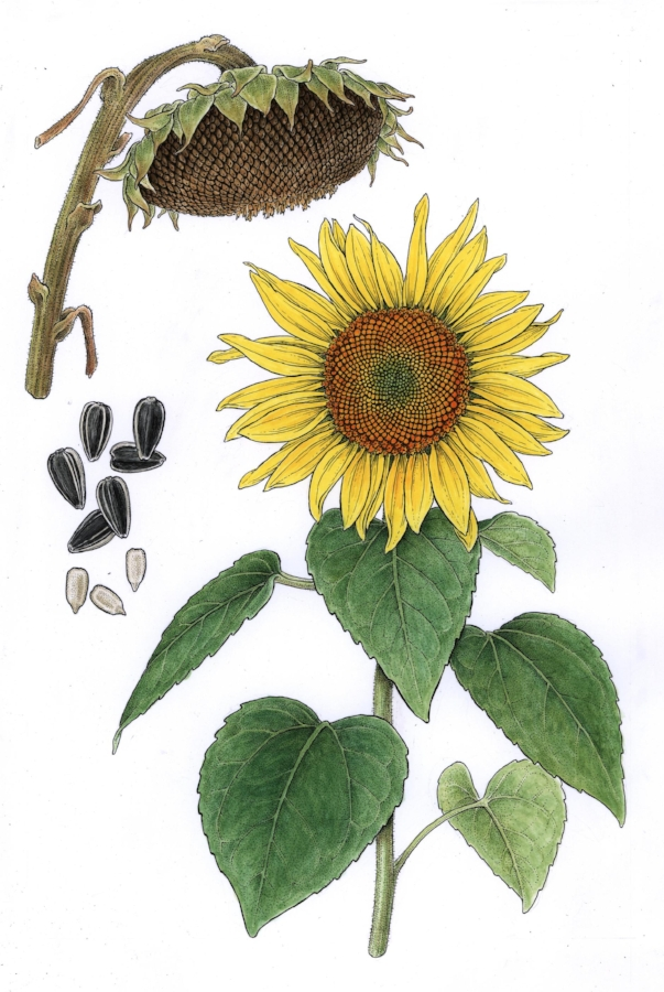 Sunflowers. Pen and ink with watercolor, commission for nut and seed company.