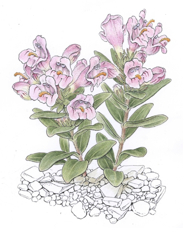 Penstemon grahamii.  Pen and ink with watercolor. Frontispiece for Flora of North America (in press)