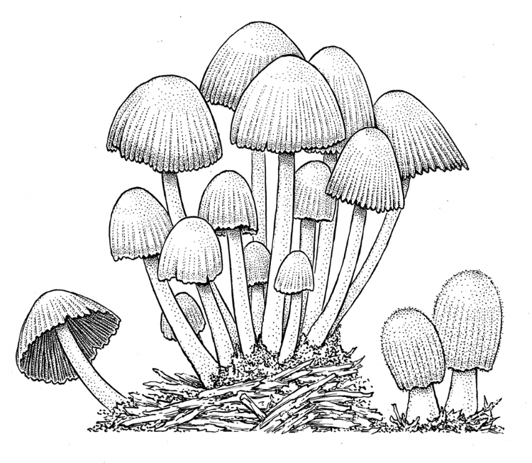 Coprinus mushrooms