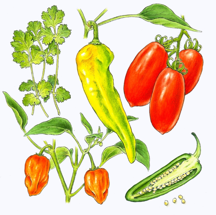 Salsa vegetables drawn for New York Times. Pen and ink with watercolor.