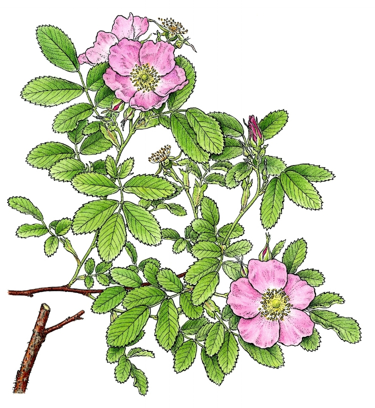 Rosa blanda.  Pen and ink with watercolor, drawn for New Flora of Vermont