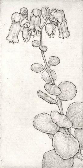 Kalanchoe mernieriana