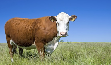 cow-center-crop.jpg