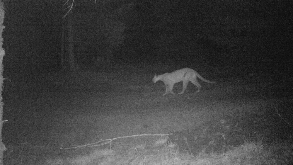 A cougar spotted in our forest.
