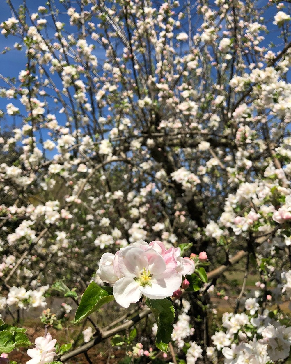 Orchard apples in bloom