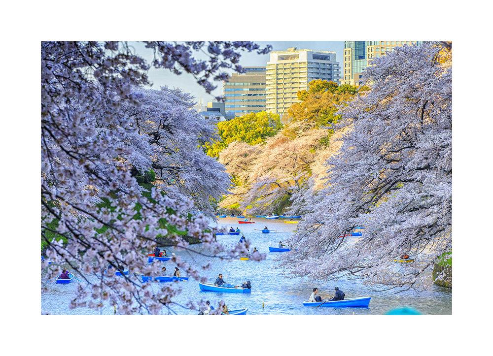 Sakura in Tokyo, Japan