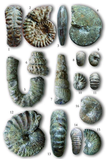 Alsó kréta ammoniteszek a pénzesgyőri Tilos-erdőből: - 1-2. Mortoniceras sp., 3-4. Beudanticeras beudanti, 5. Anisoceras armatum, 6. Mariella bergeri, 7. Ostlingoceras puzosianum, 8-9. Scaphites hugardianus, 10-11. Salaziceras salazacense, 12-13. Stoliczkaia notha, 14-15. Stoliczkaia dispar, 16. Puzosia mayoriana