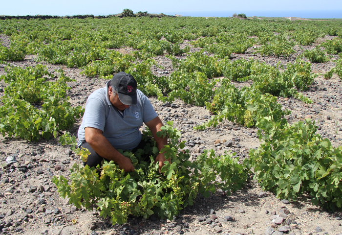 Giannis Akyalas checks Gaia's organic vineyards around Santorini.