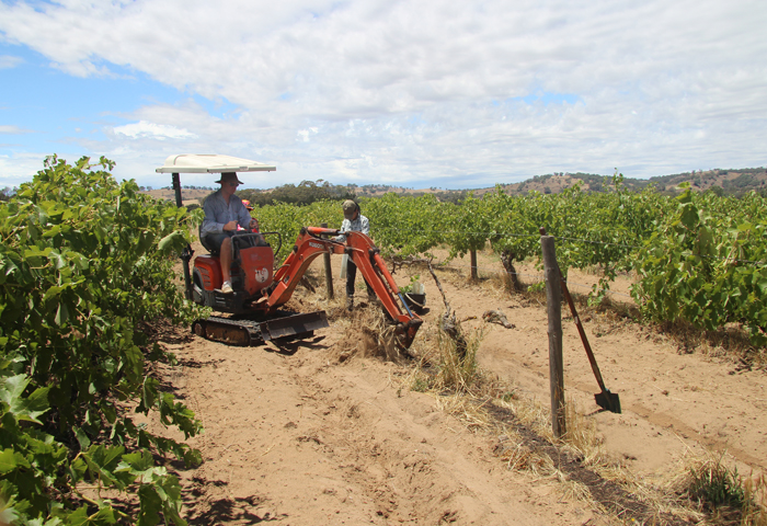 Wayne Ahrens farming his vineyards biodynamically and sustainably, planting new vines where old ones have died.