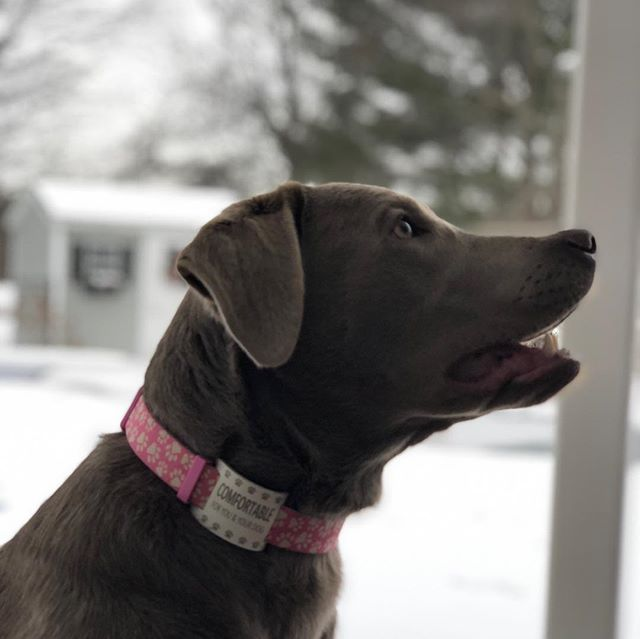 Silver Lab Bailey is comfortable wearing a white dogcollartag all thanks to @shelbykersten create your dogcollartag today by clicking the link in our bio and available under Expressed Impressions on Amazon.com!!! - - - - - - ❤️🐕❤️ #comfortable #funnydogs #amazon #doggo #cutedogs #dog #doggystlye #dogs #silverlabrador #silverlab #silverlabsofinstagram #silverlabs #puppies #puppiesofinstagram #pup #dogoftheday #dogsofinstagram #cool #fun #outdoors