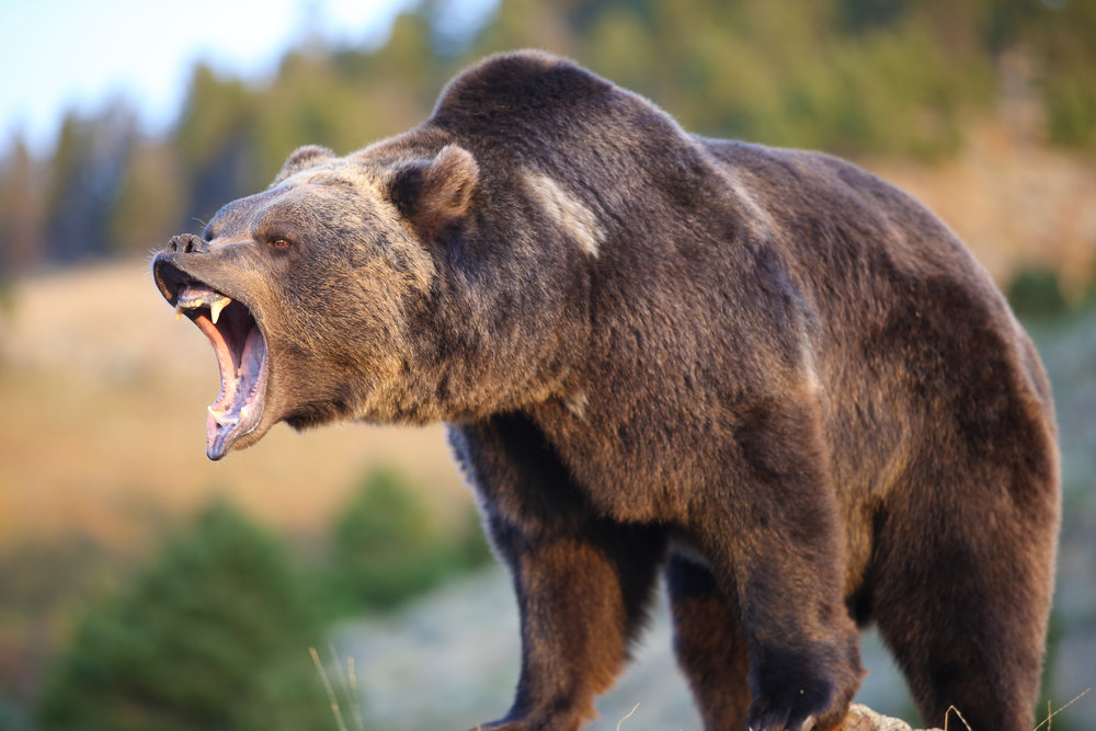 shutterstock_grizzly.jpg