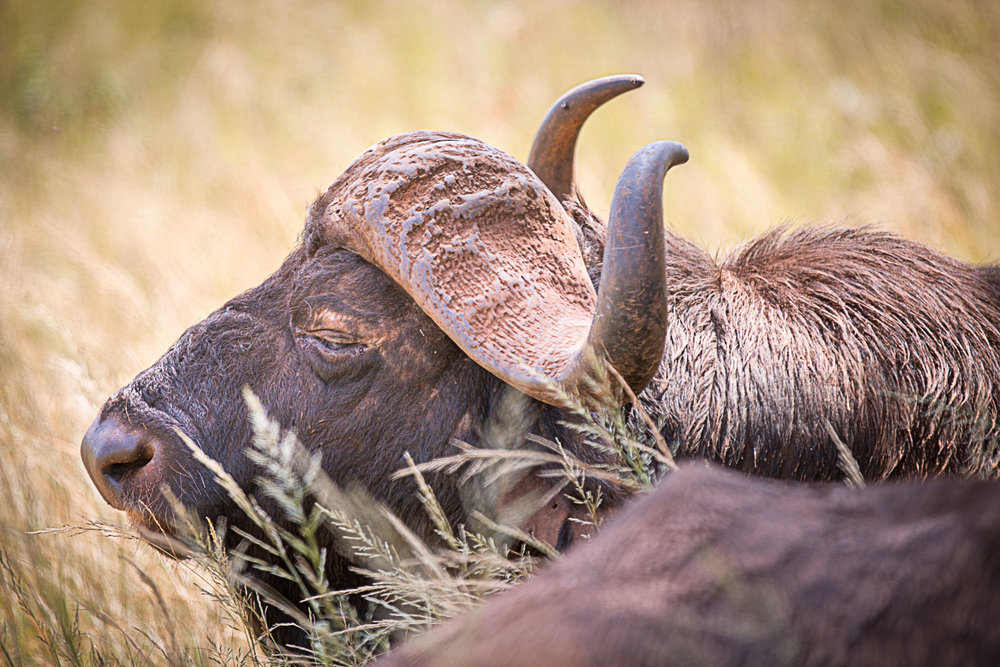 Relaxing Buffalo