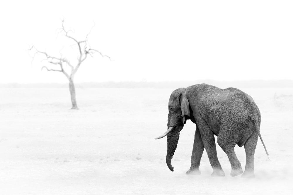 Elephant b/w