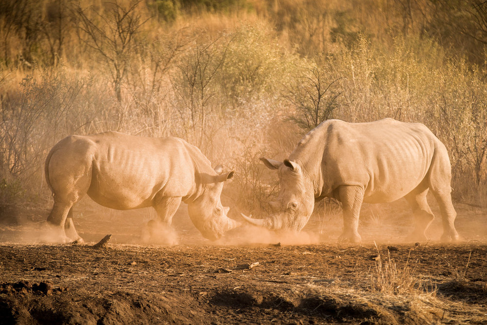 Rhino Fighting