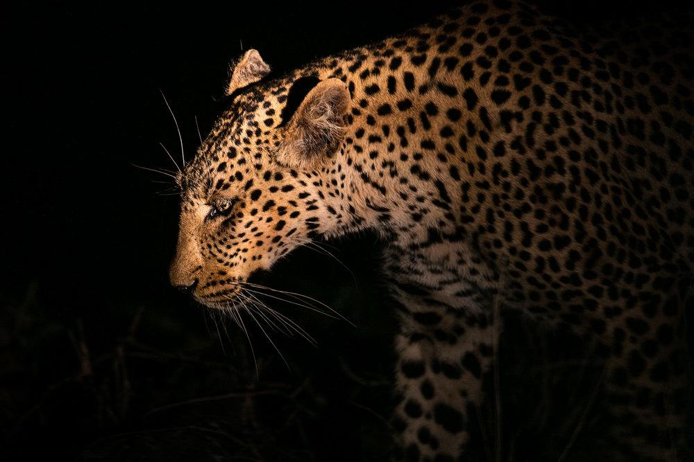 Leopard Silhouette II