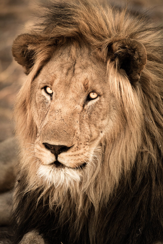 Lion Portrait III