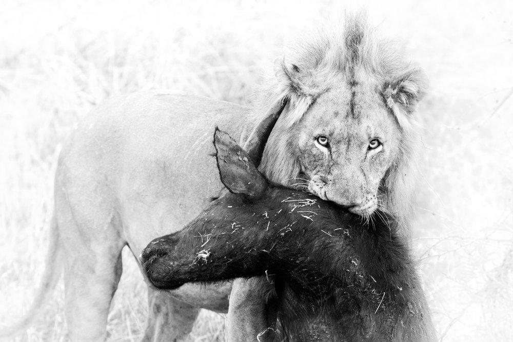 Lion with Buffalo Kill