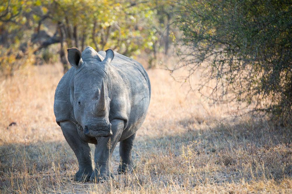 Rhino Portrait I