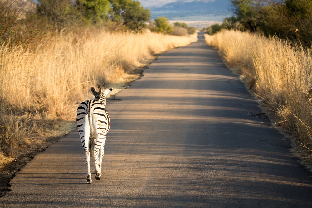 Zebra Walking Along Road