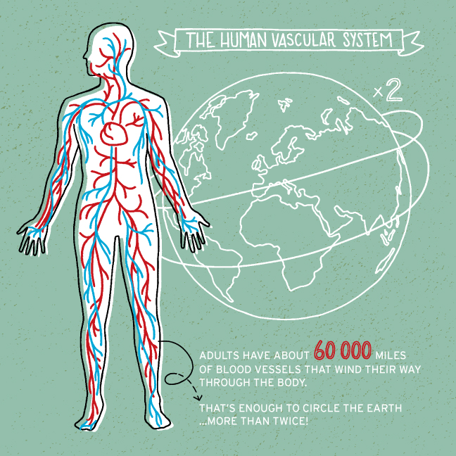 HUMAN VASCULAR SYSTEM — PROJECT42