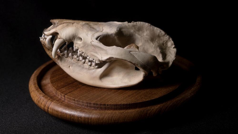 OpossumSkull.jpg