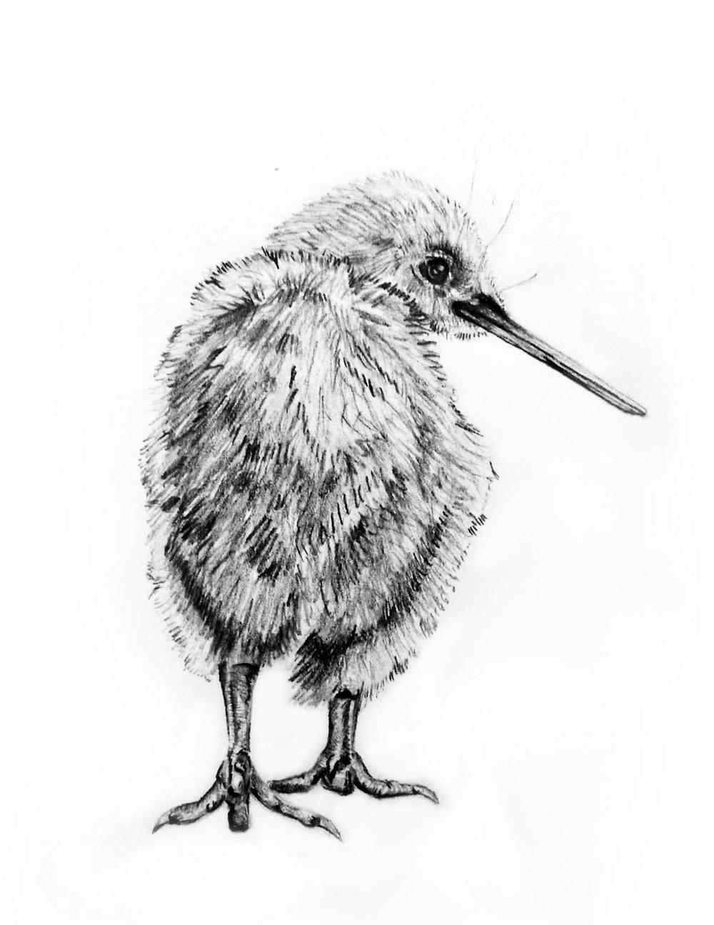 Kiwi+Bird%2C+pencil+%288.5_x11_%29.jpg