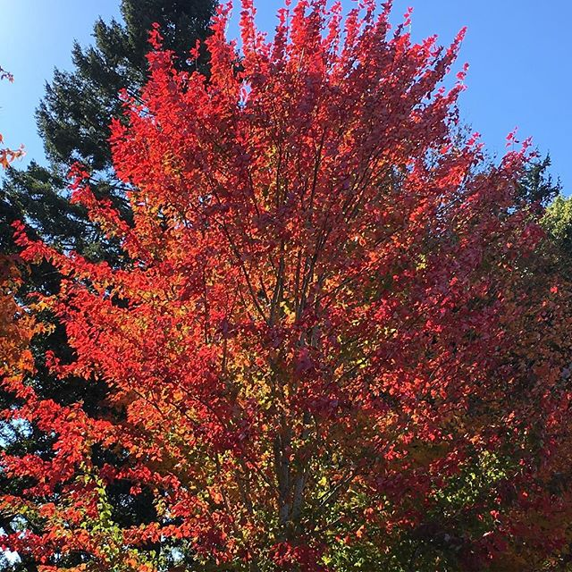 Fall color on the apple farm. #queenerfarm #nofilter #fallcolors