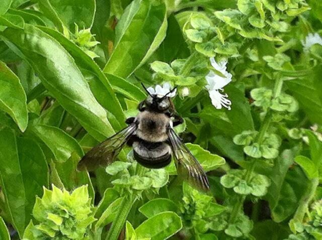 Yellowjacket bee visiting the basil