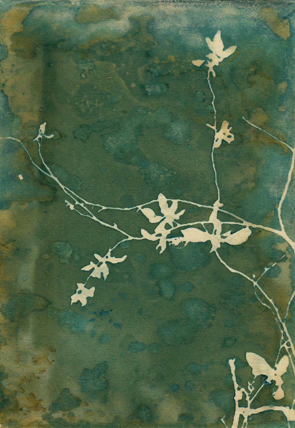 'Wandering Flowers' cyanotype print by Krista McCurdy