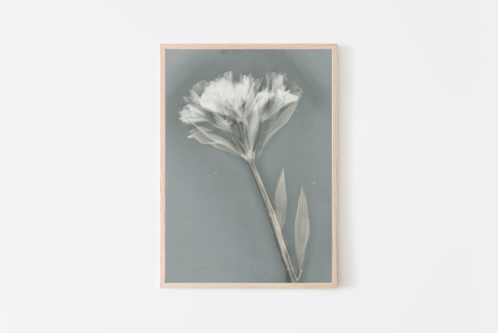 'Ethereal' lumen print by Krista McCurdy
