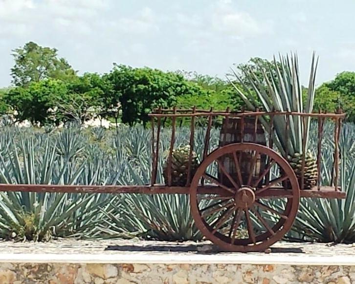 O Agave dá origem às famosa Tequila