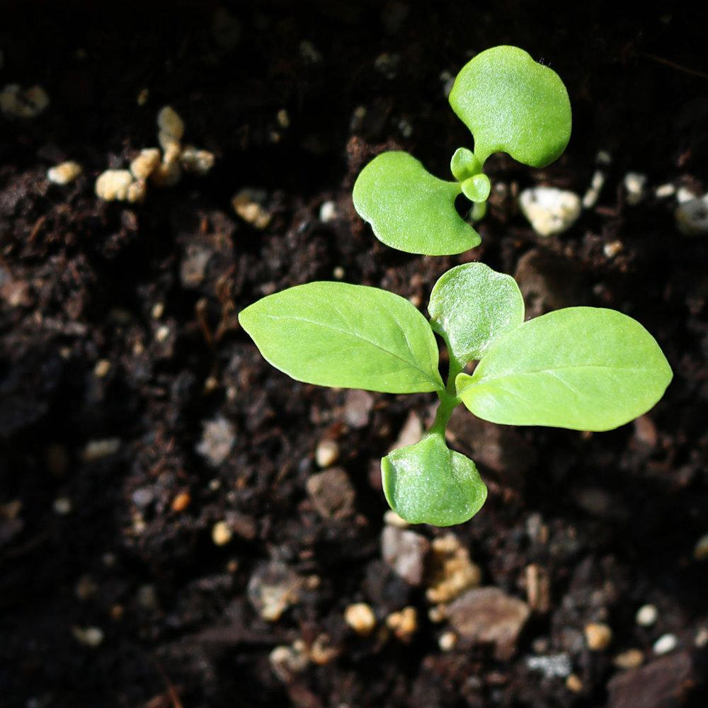 Basil Seedling Web.jpg