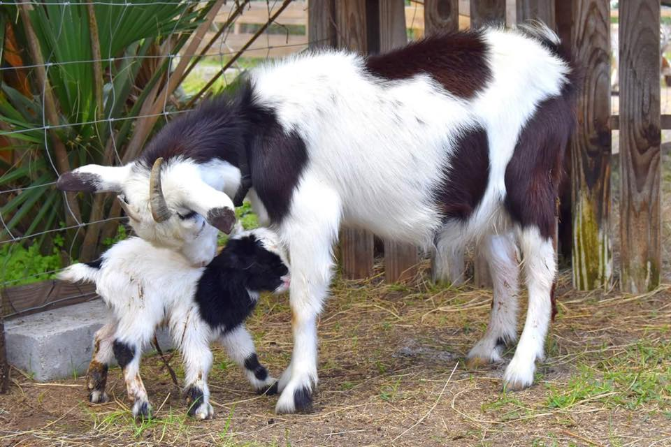baby-goat-and-mama-goat-petting-farm-obloy-florida.jpg