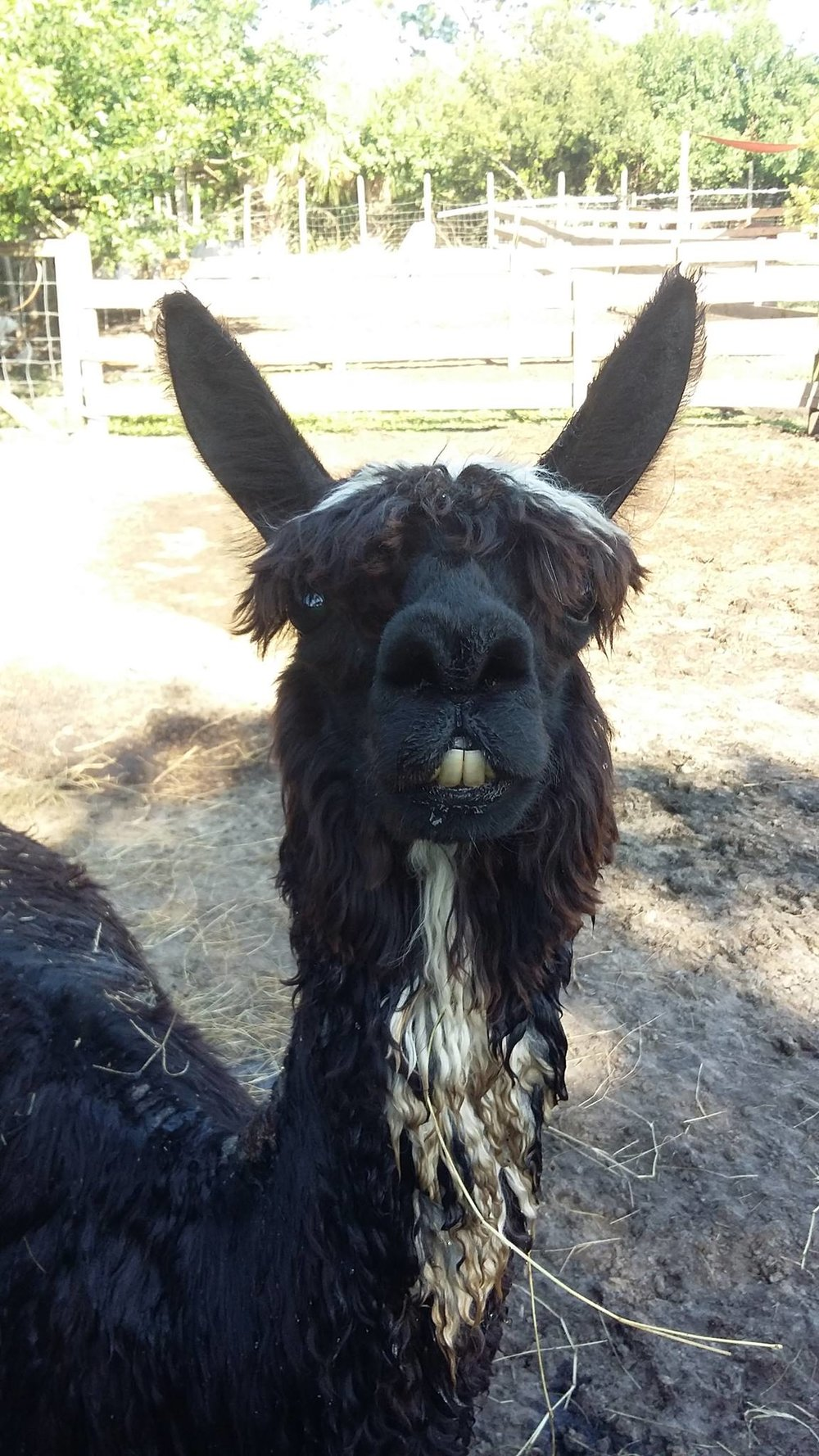llama-saying-hello-obloy-family-petting-farm.jpg