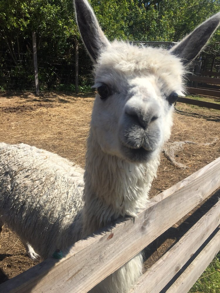 this-llama-is-saying-hello-visit-merritt-island-obloy-family-ranch.jpg