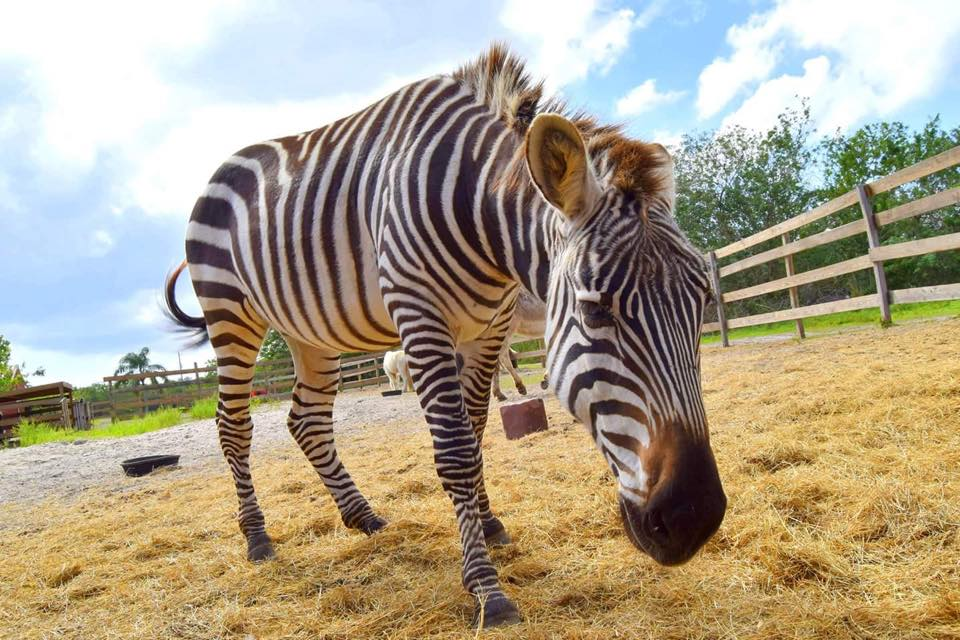 petting-zoo-farm-obloy-family-ranch-florida-zebra-zippy.jpg