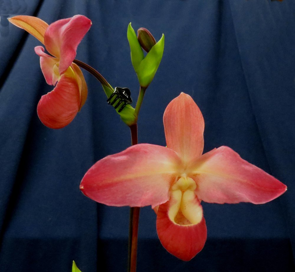 Voted BEST - Phragmipedium (Phrag.) Peruflora's SpiritGrown by: Diana Rowles